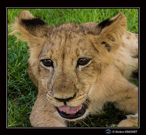 Lionceau tête face GP - Cadre Carré - Ra