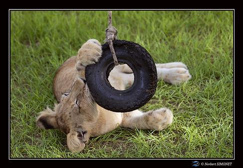 Lionceau joue avec un pneu 3 - Cadre Pay