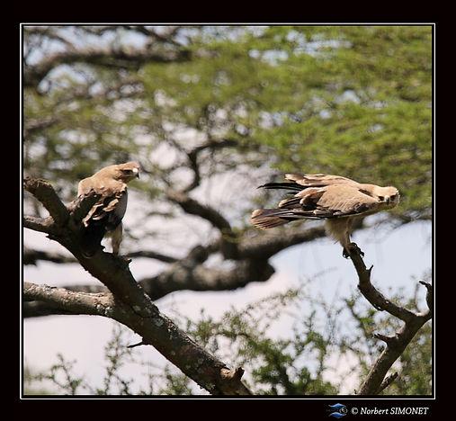 Aigles_ravisseurs_dans_un_arbre_-_Cadre_