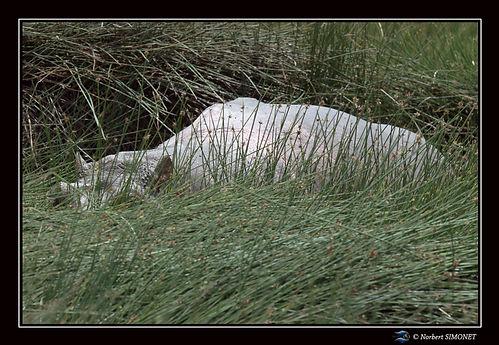 Hippopotame dans les ajoncs - Cadre Pays