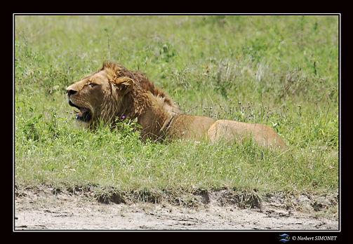 Lion_couché_profil_dans_le_cratère_du_