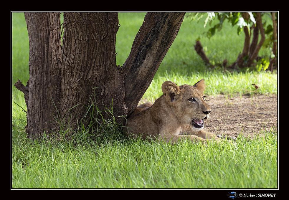 Lionceau au repos sous un arbre - Bandia