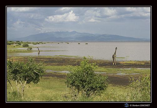 Girafes paysage - Cadre Paysage - Parc n