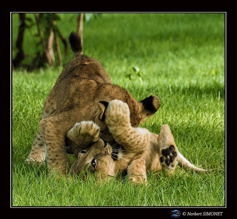 Lionceaux se battent - Cadre Carré - Ran