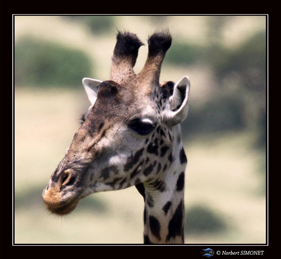 Girafe tête GP - Cadre Carré - Serengeti