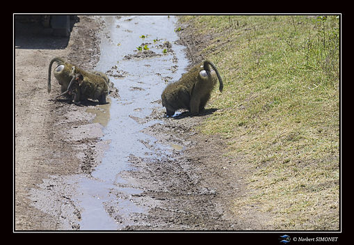 Babouins boivent - Cadre Paysage - Parc