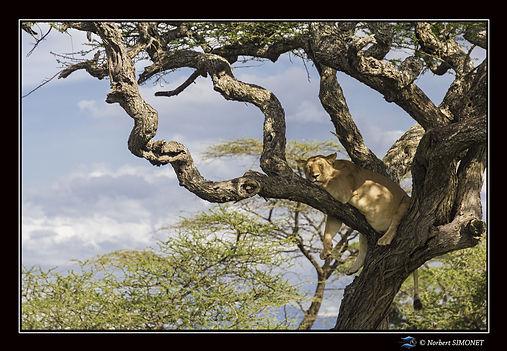 Lionne dort dans un arbre face - Cadre P