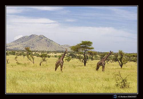 Girafes profil dans le paysage Cadre Pay