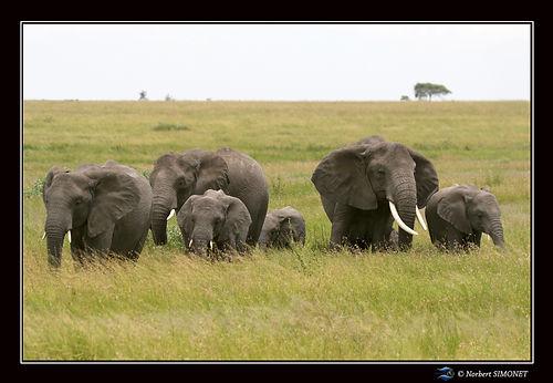 Eléphants_groupés_face_dans_les_herbes