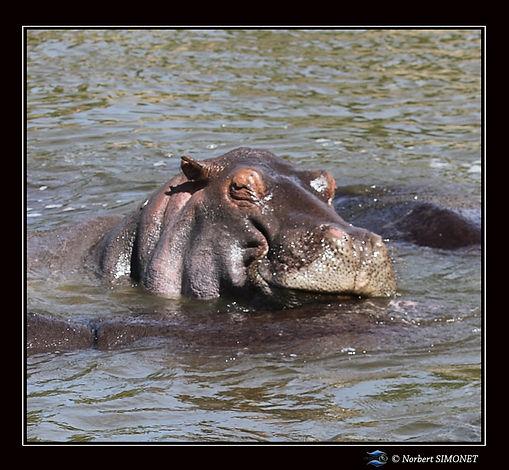 Hippopotame dort face - Cadre Carré - Se