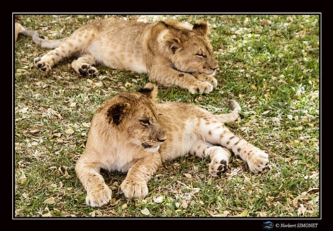 Lionceaux redressé et couché - Cadre Pay