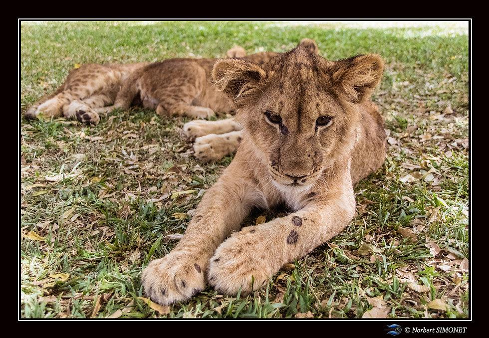 Lionceau observe - Cadre Paysage - Ranch