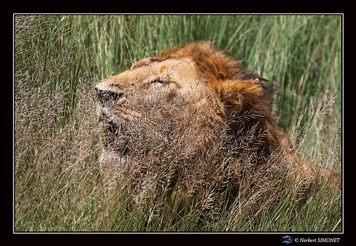 Lion hume l'air dans les herbes bis - Ca