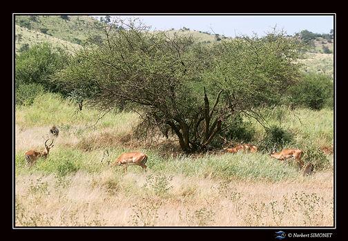 Gazelles de grant et babouins - Cadre Pa