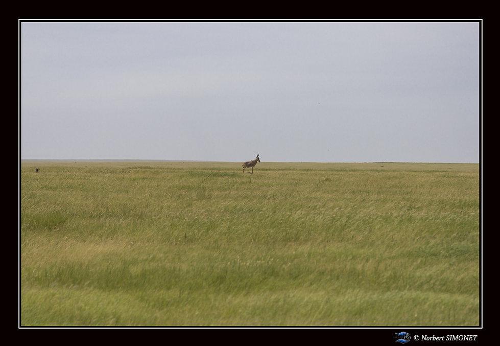 Bubale dans les plaines - Cadre Paysage