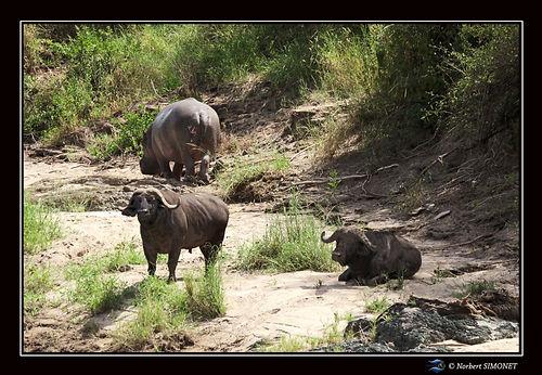 Buffles et Hippopotame - Cadre Paysage -
