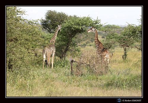 Girafe et girafon dans la brousse ter -