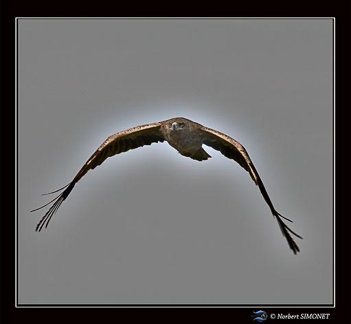 Aigle_vol_-_Cadre_Carré_-_Plaines_de_Nd