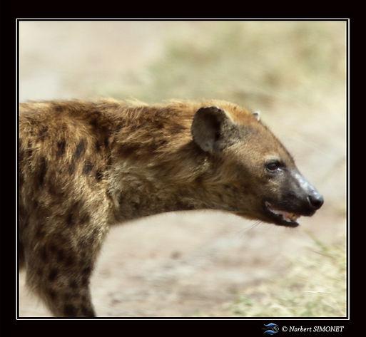 Hyène tête GP- Cadre Carré - Serengeti 2