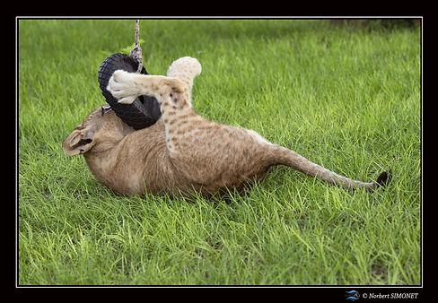 Lionceau sur le dos joue avec un pneu bi