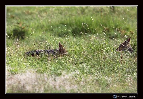 Chacals furtifs dans les herbes - Cadre