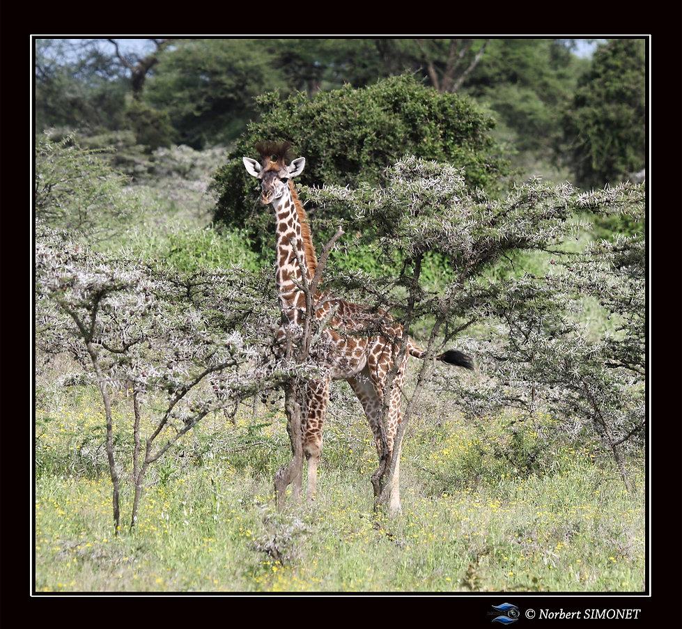 Girafon_dans_les_accacias_-_Cadre_Carré