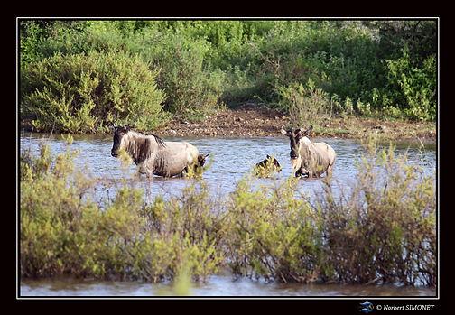 Gnous traversent un point d'eau - Cadre