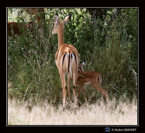 Gazelles de Grant mère et petit - Cadre