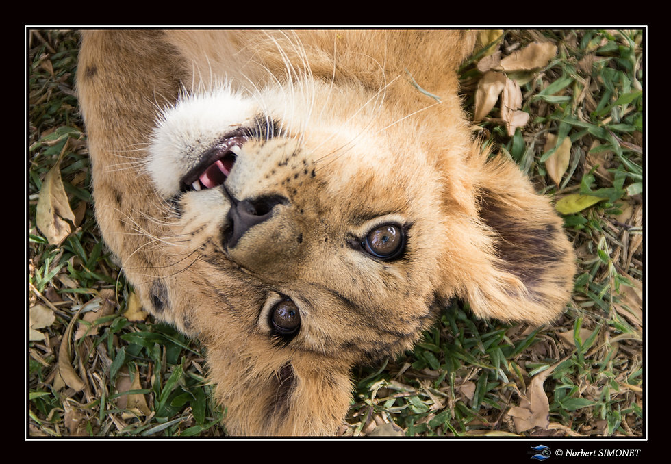 Lionceau Madiba - Cadre Paysage - Ranch