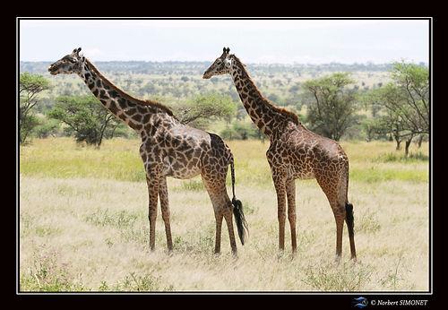 Girafes dans le paysage - Cadre Paysage
