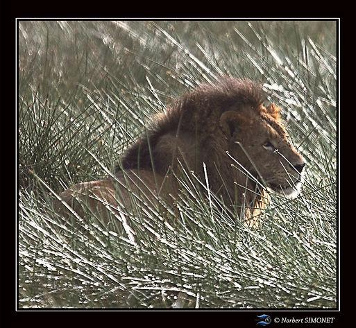 Lion_couché_dans_les_joncs_-_Cadre_carr