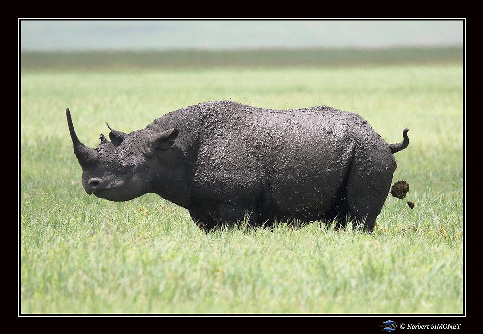 Rhinocéros_défèque_-_Cadre_Paysage_-_