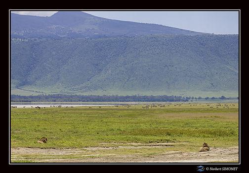 Lion_observe_les_zèbres_-_Cadre_Paysage