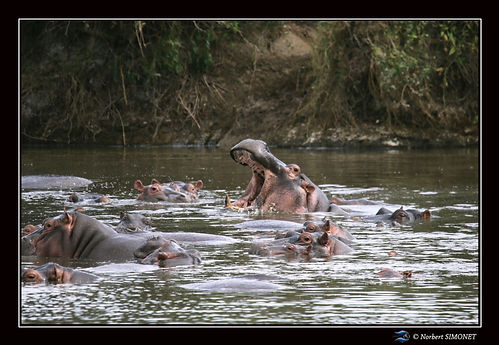 Hippopotame gueule ouverte 5 - Cadre Pay
