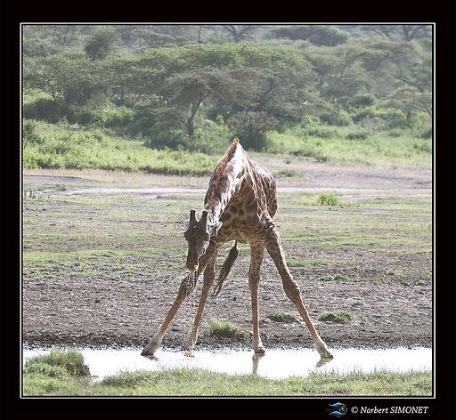 Girafe_relève_la_tête_de_l'eau_ter_-_C