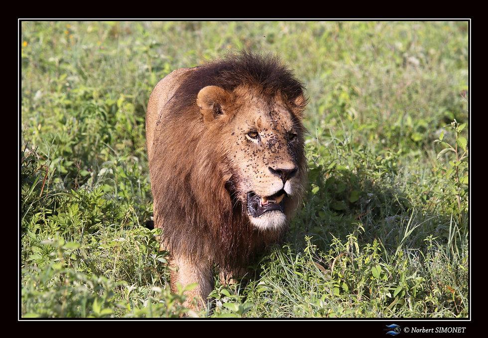 Lion face - Cadre Paysage - Ndutu 220220