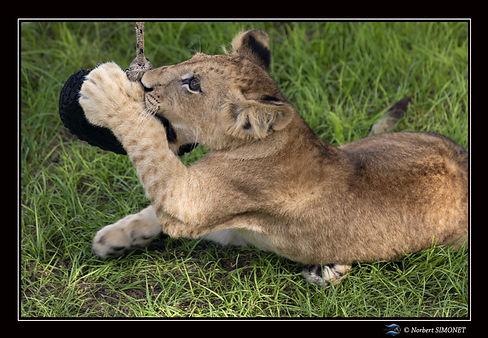 Lionceau joue avec un pneu 0 - Cadre Pay
