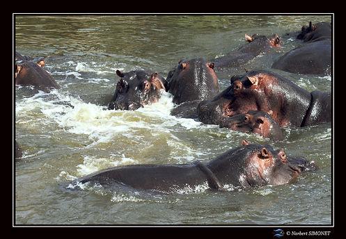Hippopotames agités dans l'eau - Cadre P