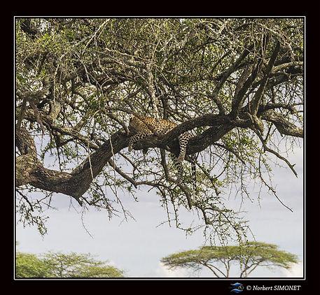Léopard_couché_dans_un_arbre_1_-_Cadre