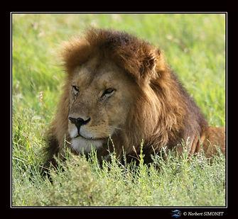 Lion_tête_profil_GP_bis_-_Cadre_Carré_
