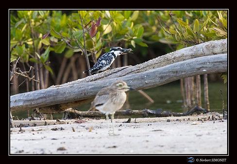 Martin_pêcheur_pie_et_poisson_et_oiseau_