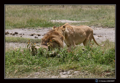 Lion_et_lionne_face_à_face_-_Cadre_Pays