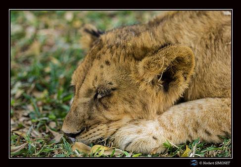 Lionceau Lynguer profil - Cadre Paysage