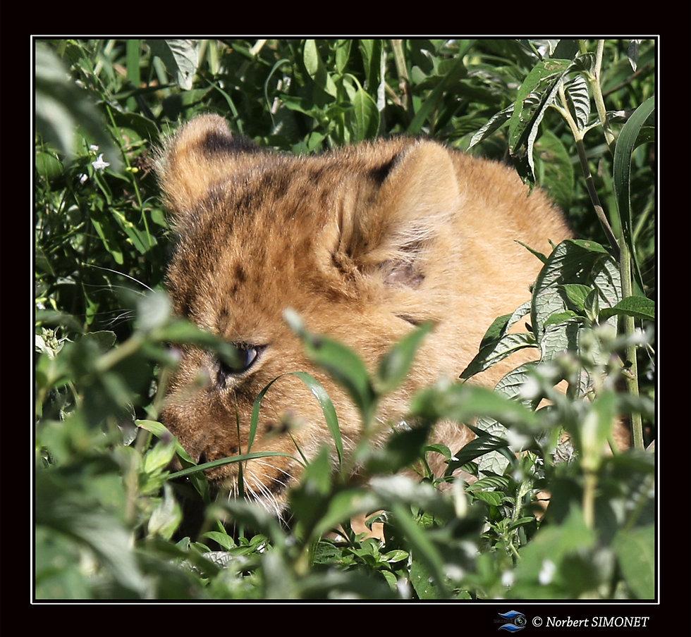 Lionceau_dans_les_herbes_GP_-_Cadre_Carr
