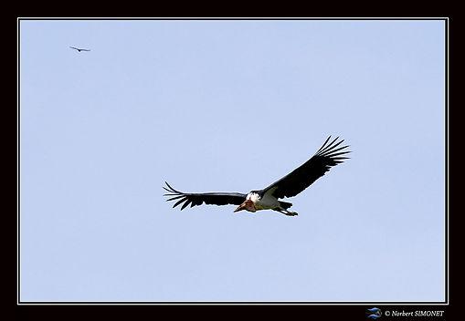 Marabout vol - Cadre Paysage - Serengeti