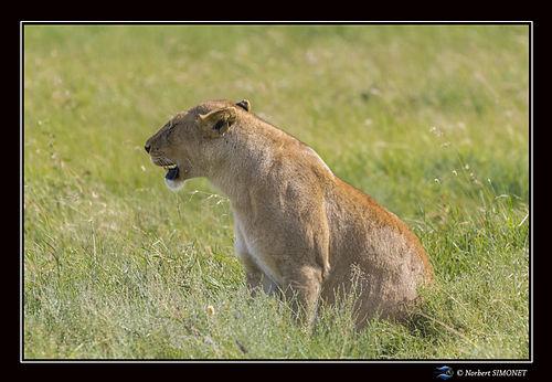 Lionne assise dans la savane - Cadre Pay