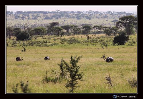 Buffles dans le paysage - Cadre Paysage