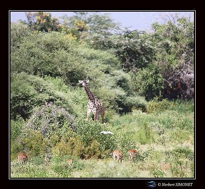 Girafes_et_impalas_paysage_ter_-_Cadre_C