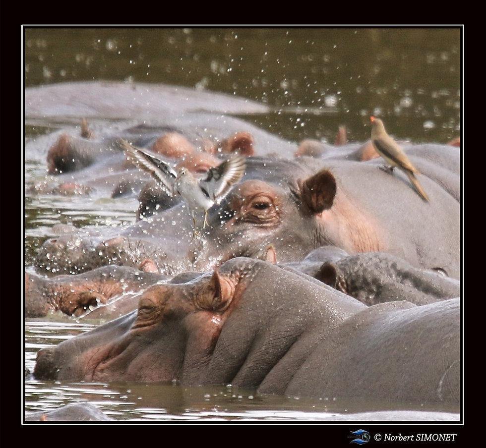 Hippopotame GP et Gravelot pâtre s'envol