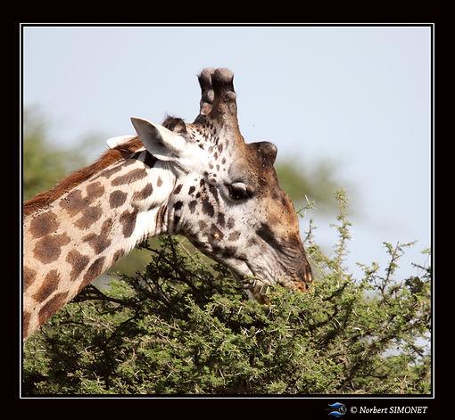 Girafe_broute_un_accacia_GP_-_Cadre_Carr